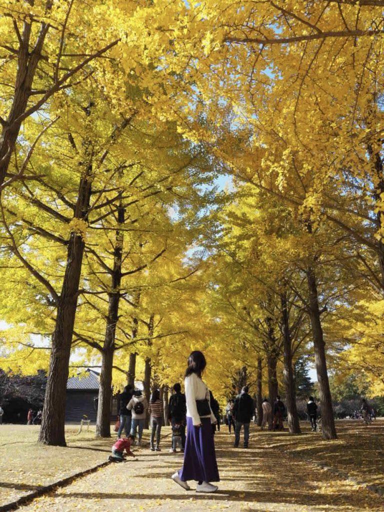 真っ黄色に広がるイチョウ並木が